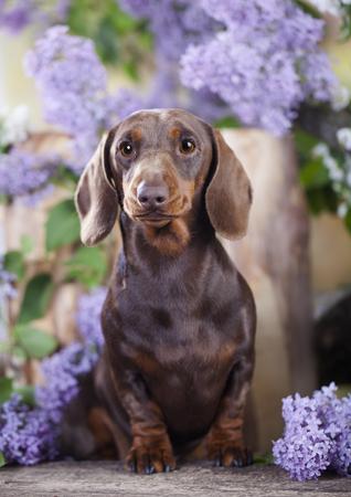ライラックの花のダックスフント犬