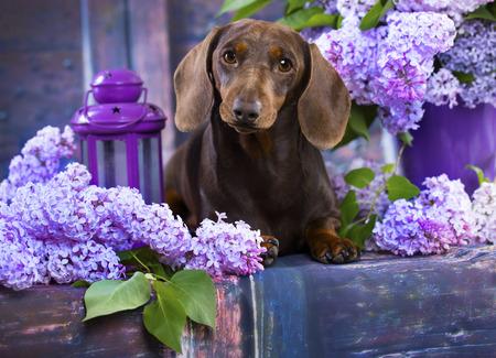 ライラックの花のダックスフント