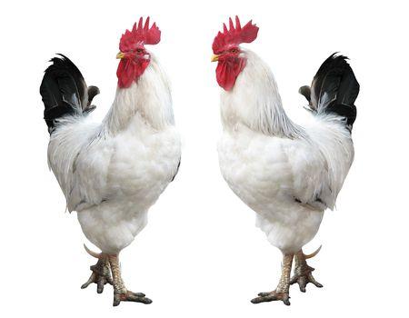 cockerel Standard-Bild