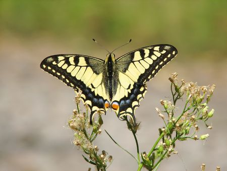 machaon: yellow machaon (swallowtail) butterfly  Stock Photo