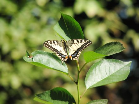 machaon: yellow machaon (swallowtail) butterfly