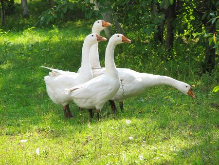 domestic geese on the green grass photo