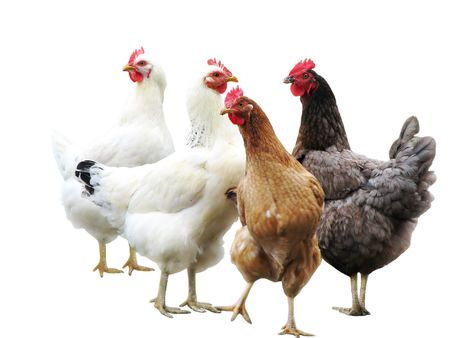 black and white farm: cute funny hens on white background, isolated