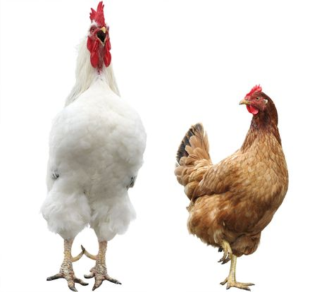 black and white farm: funny hen and rooster
