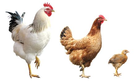 natural cock: rooster, hen and chicken, isolated, standing on one leg