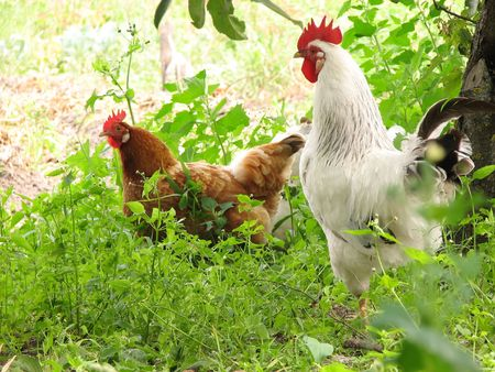 rooster and hens on tne green grass Stock Photo - 5446213