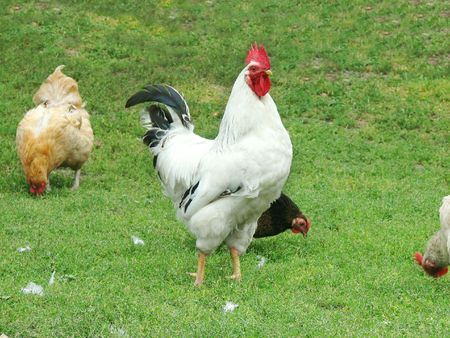 rooster and hens on tne green grass