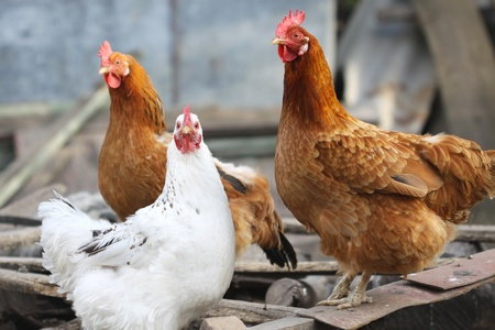 poultry animals: cute funny hens on farm yard