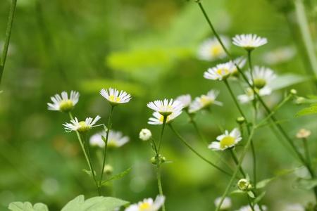 Kamille Wildblumen auf der grünen Wiese Standard-Bild - 10388777