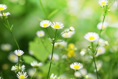 Kamille Wildblumen auf der grünen Wiese Standard-Bild - 10388779