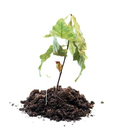 dode bladeren: groene plant verwelkt, dood van de groei, dode plant