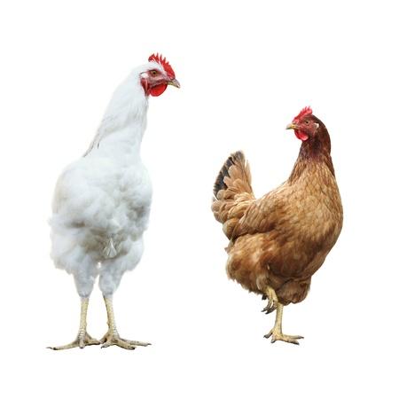 Funny überrascht Hahn und Henne, isoliert Standard-Bild - 16302995