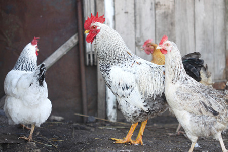Hahn und Hühner, Geflügel auf dem Hof Standard-Bild - 50922502