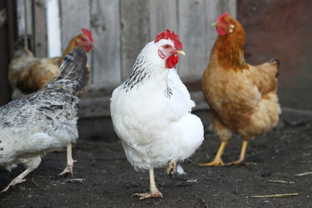 natural cock: hens, poultry on the farm yard