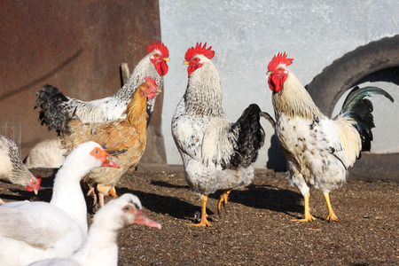 roosters and ducks, poultry on the farm yard Standard-Bild