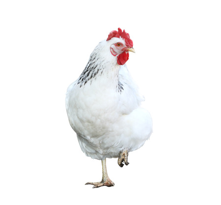natural cock: cute white hen, isolated