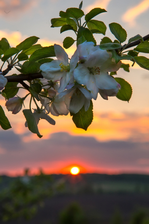 branch of apple blossom against the background of the sunset in the field, ukraine Stock Photo