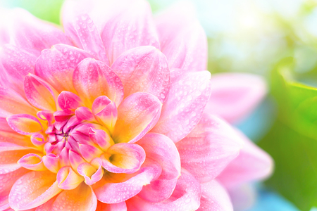 light pink dahlias with drops of water on a blurry background, macro. place for text
