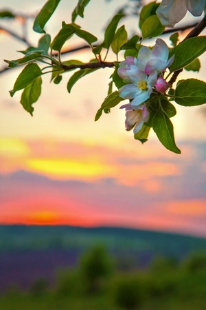 sunset in the field, apple blossom. space for text
