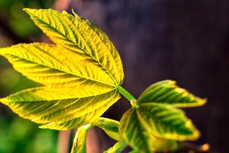 young shoots of leaves in spring. macro. backlight spring background. space for text Imagens