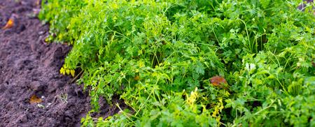 frische Petersilie auf dem Bett. Grün. Würze wächst