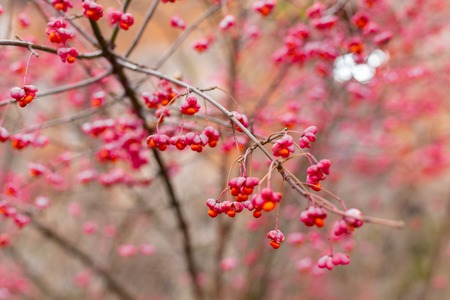 Deciduous shrub, Celastraceae . small pink flowers with seeds on the branches, sideways. macro. place for text