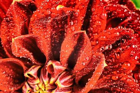 Red flower with water drops macro isolated on white