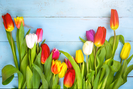Pink tulips on wooden blue background. Conception holiday, March 8, Mother's Day. spring background