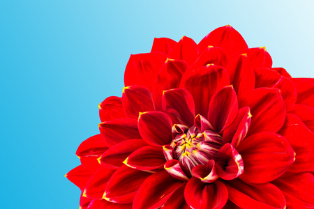 light red dahlias , macro. place for text