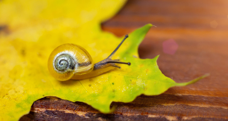 a small yellow snail on the autumn leaf. macro. place for text Imagens