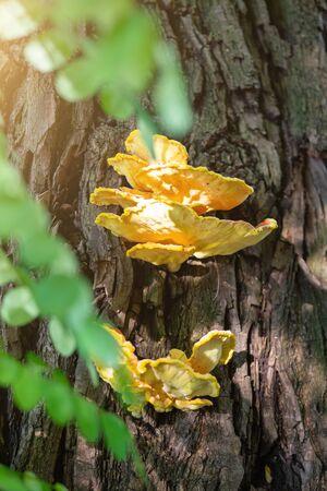 Bright yellow-orange mushroom, Laetiporus sulphureus, growing on a tree trunk close to stream, summer day,