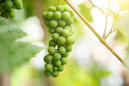 young bright green grapes that reaches on the tree . closeup Imagens