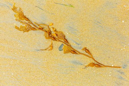 Yellow beautiful seaweed on the beach in California. seaweed in the sand. place for text Imagens
