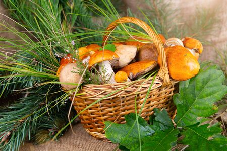 Forest mushrooms in the basket. White mushrooms. Autumn background with mushrooms and forest foliage. place for text. 写真素材