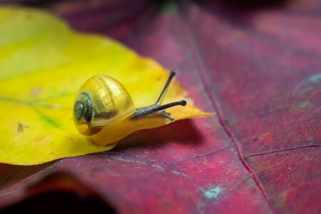 a small yellow snail on the autumn leaf. macro Фото со стока