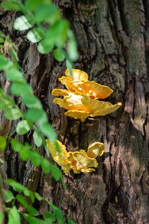 Bright yellow-orange mushroom, Laetiporus sulphureus, growing on a tree trunk close to stream, summer day,