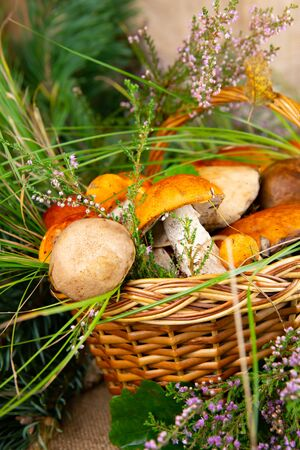 Forest picking mushrooms in wickered basket top view copy space. Fresh raw mushrooms Фото со стока