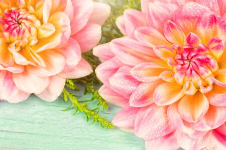 very beautiful pink-yellow dahlia with dew drops on a blue wooden background. Фото со стока