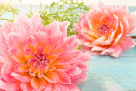 very beautiful pink-yellow dahlia with dew drops on a blue wooden background