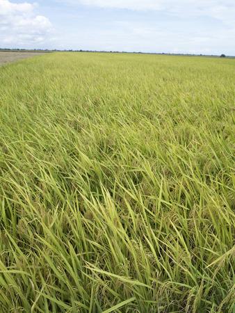 Paddies growing in a field 写真素材