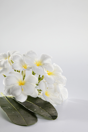 close up of the fresh flower frangipani