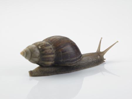 Garden snail on white background Stock Photo