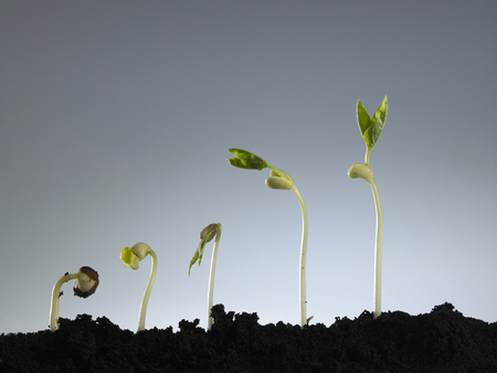 Growing plant in sequence isolated on gray background. Imagens