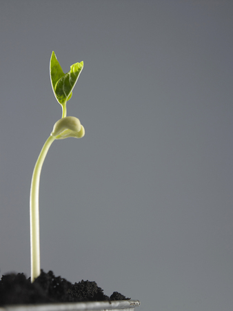 Growing plant in soil isolated on gray background.