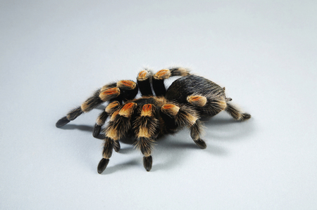 Elevated view of Red Knee Tarantula Stock Photo