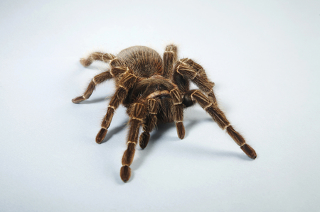 Red Knee Tarantula