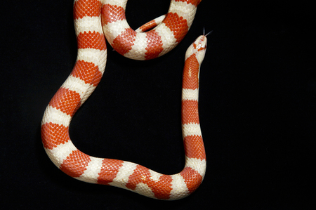 Top view of Corn Snake