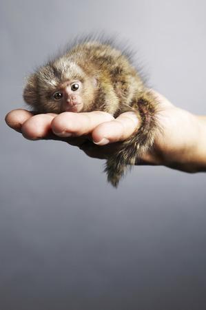 Caille De Ouistiti Pygmée Dans La Paume