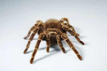 Front view of Red Knee Tarantula