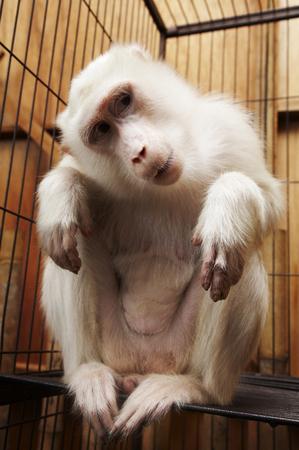 albino vervet monkey in a cage